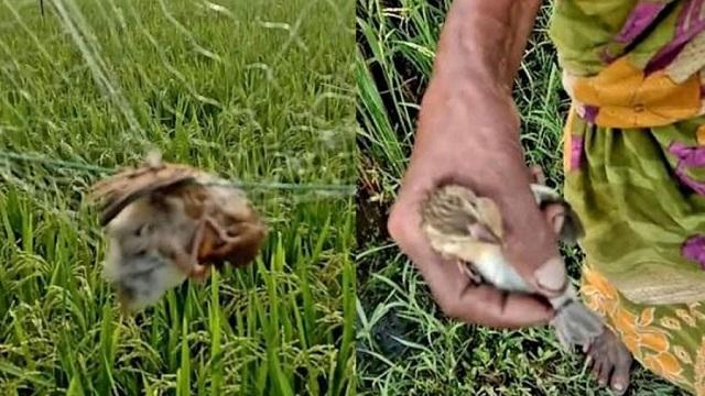 গুজব ছড়িয়ে কারেন্ট জাল দিয়ে ব্রাহ্মণবাড়িয়ায় চলছে পাখি শিকার
